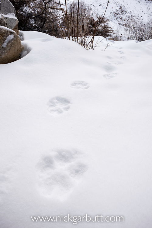 Foot prints / tracks of a wolf (Canis lupus) through the snow. Ulley Valley in the Himalayas, Ladakh, India.