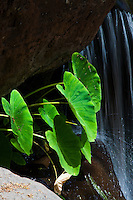 Taro growing next to a waterfall, Na Pali Coast, Kauai