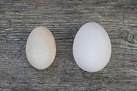 Vergleich Hühnereier, Hühnerei: links Ei von Zwerghuhn, rechts Ei von Legehenne, Eier, Zwerghühner, hen's egg, hen's eggs, egg, eggs