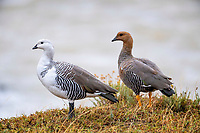The Upland Goose (Chloephaga picta) is a common species in Patagonia. These geese are very sociable, flocking together by the thousands in some places, and mate for life. Here the striking white male (on the left) jealously guards his female mate (on the right)