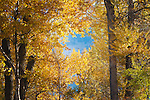 Autumn color of cottonwood trees in Greenough Park in Missoula, Montana
