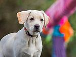 Yellow labrador puppy outdoor portrait.
