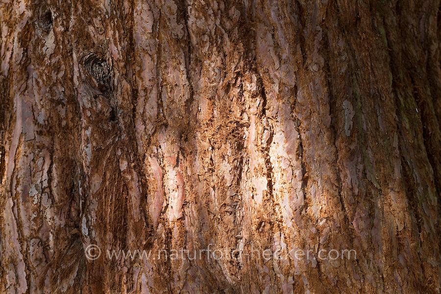 Mammutbaum, Riesen-Mammutbaum, Riesenmammutbaum, Berg-Mammutbaum, Wellingtonie, Rinde, Borke, Stamm, Sequoiadendron giganteum, Wellingtonia giganteum, giant sequoia, giant redwood, Sierra redwood, Sierran redwood, Wellingtonia, bark, rind, Le Séquoia géant