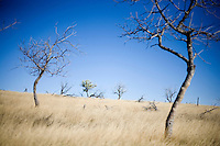 Leafless trees stand in an orchard outside an abandoned homestead on the Coffee Ranch in Rosebud County near Melstone and Sumatra, Montana, USA.