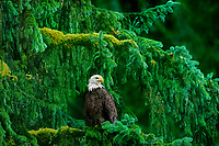 521040101 a wild adult bald eagle hailaeetus leucocephalus perches in a giant fir tree in a temperate rainforest in southeast alaska united states