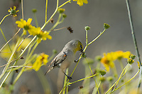 Verdin (Auriparus flaviceps) feeding on seedpod of Brittlebush or brittlebrush (Encelia farinosa) plant.  Sonoran Desert, CA.  February.