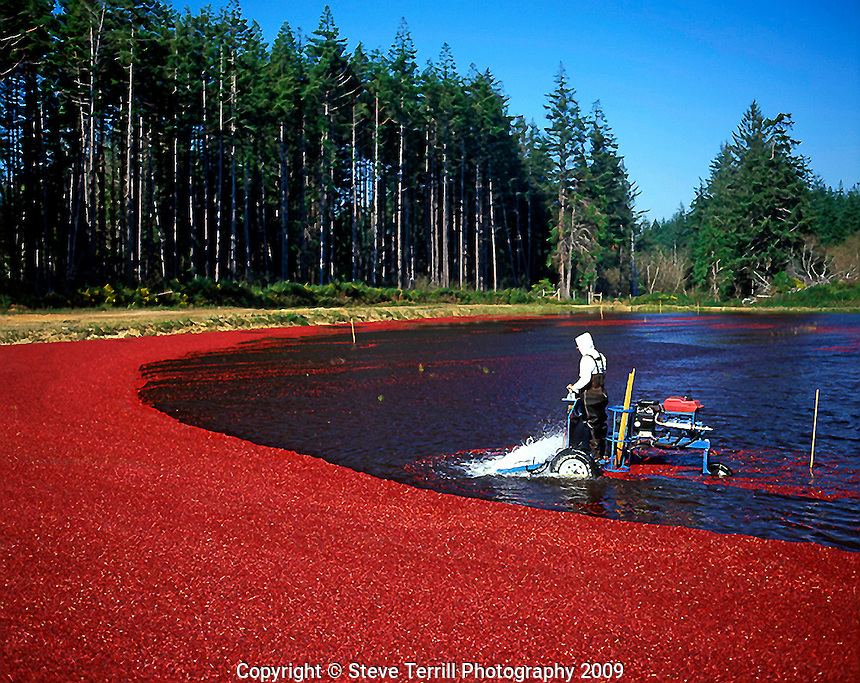Harvesting cranberries near the coastal town of Bandon on the Southern Oregon Coast