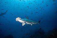 Scalloped Hammerhead Sharks (Sphyrna lewini), Cocos Island, Costa Rica, Central America
