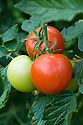 Tomato 'Shirley', early September.