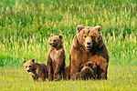Pictured:  The cubs with mum.<br /> <br /> A mother bear smiles at the camera as she poses with her cubs for a family portrait.  The mum appeared to have gathered her three young in for a tightly knit picture, before smiling for the lens.<br /> <br /> In reality, she was panting in the heat of a sunny afternoon and there were at least another ten bears around them so the mother was keeping them close for protection.  The young cubs also clambered over her and used their mother as a pillow as they rested on a grassy plain near the coast in Katmai National Park, Alaska, USA.  SEE OUR COPY FOR DETAILS.<br /> <br /> Please byline: Brad Josephs/Solent News<br /> <br /> © Brad Josephs/Solent News & Photo Agency<br /> UK +44 (0) 2380 458800