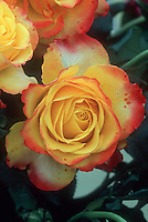 Rosa 'Tequila Sunrise' aka 'Dicobey' Hybrid tea  roses in orange yellow and red yellow picotee bicolors, unusual color