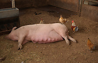 Sow lying down with poultry. Pig