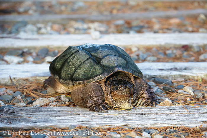 Snapping Turtle (Chelydra serpentina) at Pondicherry Wildlife Refuge along the Cohos Trail in Jefferson, New Hampshire USA during the spring months