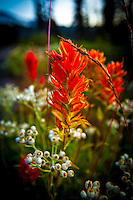 Red paintbrush flowers at Mt. Rainier national park in washington