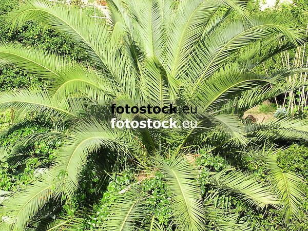 palm tree<br /> palmera<br /> Palme