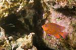 Coronado Islands, Baja California, Mexico; an intermediate phase Garibaldi (Hypsypops rubicundus) fish swims close to the rocky reef