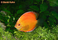 0116-0904  Orange Discus (Red Marlboro Discus), Symphysodon aequifasciata  © David Kuhn/Dwight Kuhn Photography.