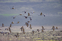 Flock of Sandhill Crane (Grus canadensis) on their north bound migration through central Washington State. Adams County, Washington. April.
