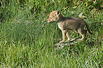 Coyote pup standing on a rock in Yellowstone National Park.