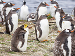 Penguin with yellow hairdo travels 5,000 miles to join a different colony by Dave Higgins