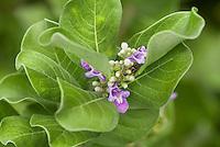 Pohinahina blossom