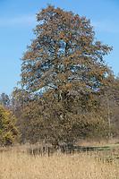 Schwarz-Erle, Schwarzerle, Erle, im Frühjahr blühend, Alnus glutinosa, Common Alder, Alder, Aulne glutineux