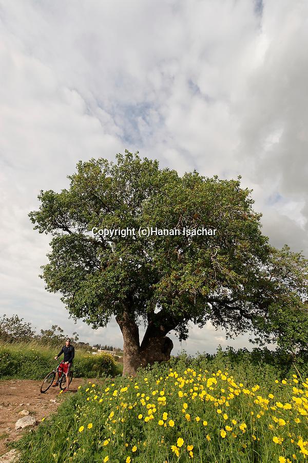 Israel, Sharon region. Mount Tabor Oak tree (Qyercus Ithaburensis) in Karkur