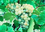 Seyvaz grapes, Somerset, England.