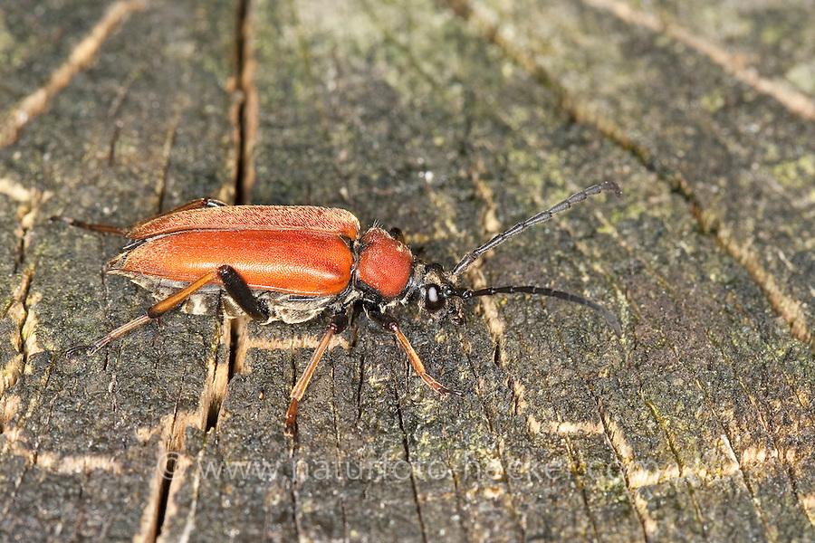 Rothalsbock, Rot-Halsbock, Roter Halsbock, Gemeiner Bockkäfer, Weibchen, Corymbia rubra, Stictoleptura rubra, Leptura rubra, Aredolpona rubra, Red Longhorn Beetle, Red Longhorn-beetle, female,  le lepture rouge
