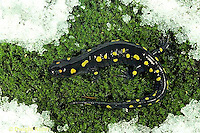SL09-077x  Salamander - spotted salamander adult going to pond in early spring, snow still on ground - Ambystoma maculatum