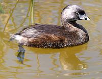 Pied-billed grebe in breeding plumage