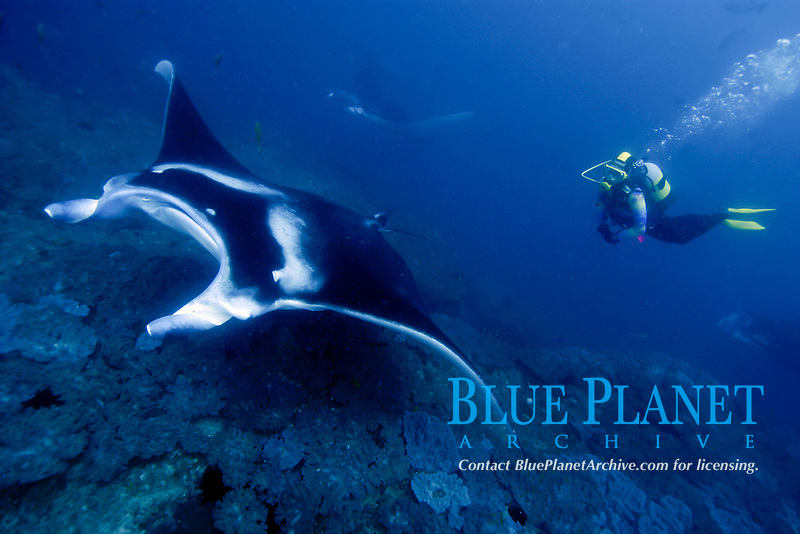 A reef manta ray, manta alfredi, glides over a cleaning station in Mozambique, Africa, Indian Ocean