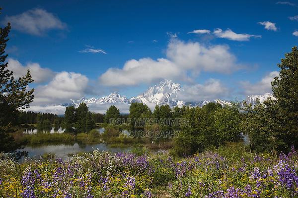 Silky Lupine (Lupinus sericeus) and Grand Teton Range, Grand Teton National Park, Wyoming, USA