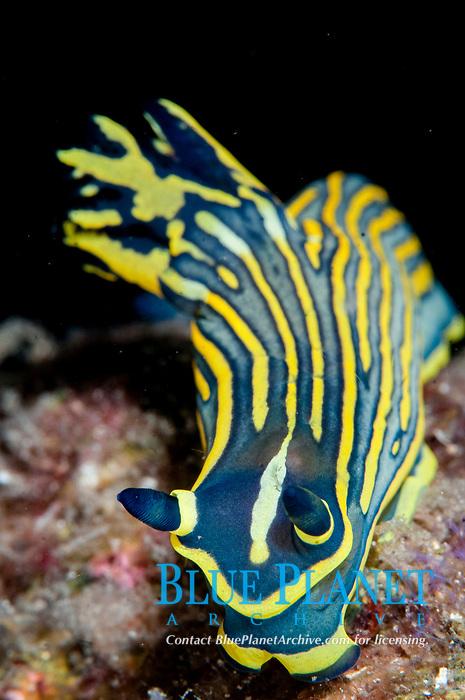 Tambja Nudibranch, Tambja sp, night dive, Nudi Falls dive site, Lembeh Straits, Sulawesi, Indonesia, Pacific Ocean