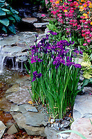 Pretty Water garden plants Iris ensata, Primula japonica, ferns, with waterfall and stream with rocks