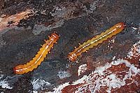 Scharlachroter Feuerkäfer, Larve, Larven, Käferlarve, Feuerfliege, Feuerfliege-Käfer, Pyrochroa coccinea, cardinal-beetle, cardinal beetle, larva, larvae, grub, Feuerkäfer, Pyrochroidae, cardinal-beetles, cardinal beetles