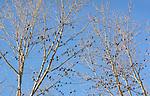 Flock of blackbirds in trees.