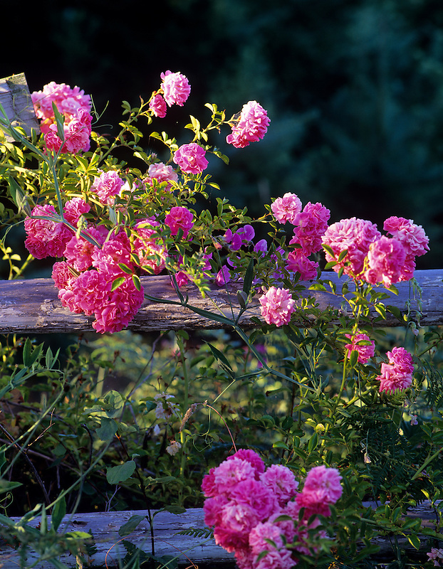 Roses growing wild on old fence. Near Alpine, Oregon.