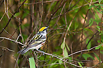 Chestnut-side Warbler - Male