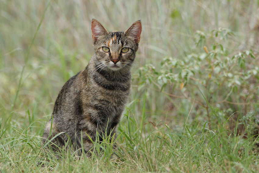 Young wild (feral) cat in the Hill Country of Central Texas.