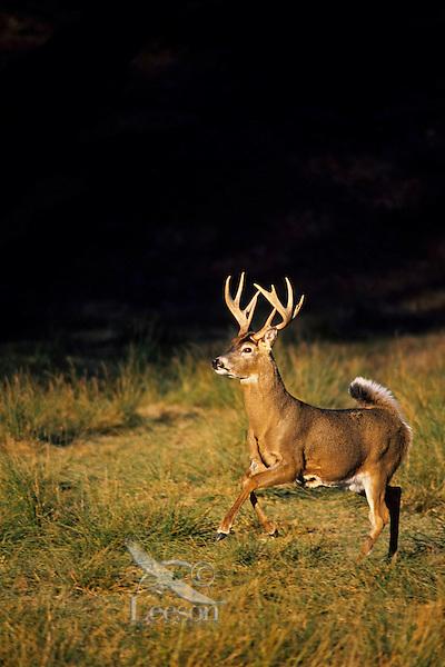 White-tail deer buck (Odocoileus virginianus).