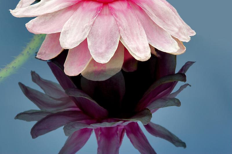 Amazon lilly bloom. Hughes Water Gardens, Oregon