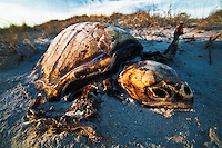 Decomposing Loggerhead Sea Turtle (Caretta caretta), a threatened species, Cape Hatteras National Seashore, North Carolina