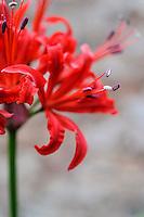 Nerine sarniensis 'Berlioz'