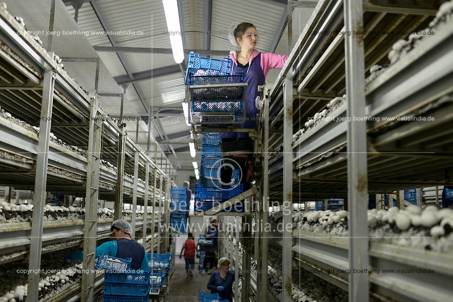 POLAND, Masovian Voivodeship, Huszlew, Grzybek Losicki, mushroom cultivation and marketing, mushroom breeding company, ukrainian women harvest the mushrooms / POLEN, Masowien, Huszlew, Grzybek Losicki, Champignon Pilz Erzeugergemeinschaft, Pilzzuchtbetrieb, ukrainische Frauen ernten Pilze fuer den Export