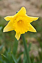 Daffodil (Narcissus 'Tamara'), a Division 2 Large-cupped variety, mid February.