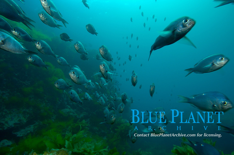Demoiselles (Chromis dispilus) swimming in long 'roping' behaviour. Poor Knights Islands, New Zealand. South Pacific Ocean