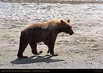Alaskan Coastal Brown Bear at Sunrise, Silver Salmon Creek, Lake Clark National Park, Alaska