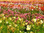 Dahlia Field, Canby, Oregon