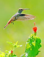 Buff-bellied hummingbird at turk's cap